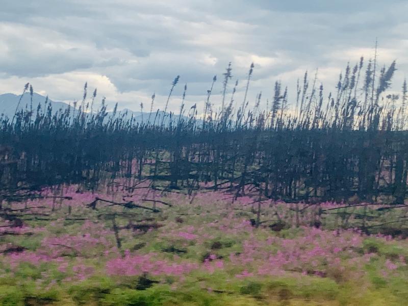Fireweed wildfire